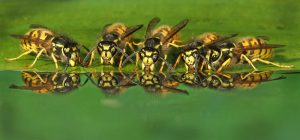 Wasps Drinking by Phil Kirk